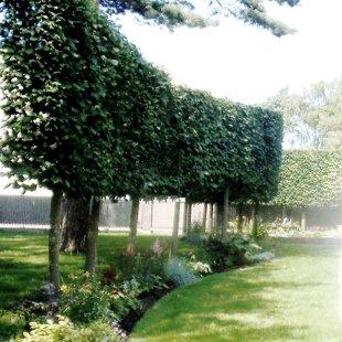 koku vainagu formēšana, augu stādīšana, kopšana